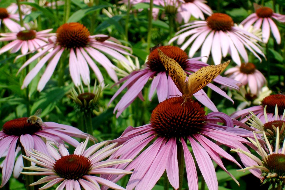 bflyconeflower